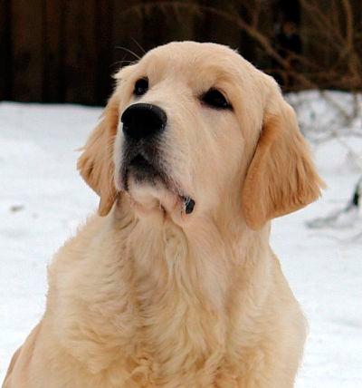 Загадки про собак для детей и взрослых, про разные породы, сложные ... | 428x400